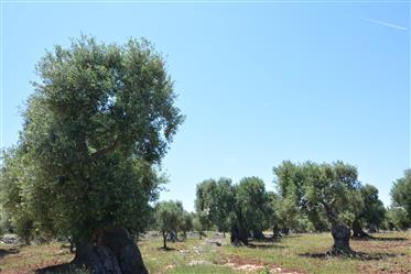 Sea view olive grove for sale in Carovigno