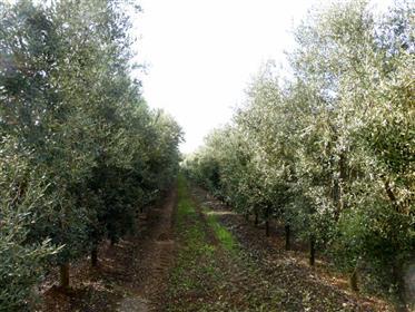 Organic olive grove - Portugal - Vila Real