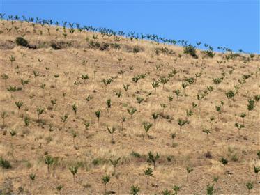 Terre, amandiers, chênes-lièges, culture. Portugal, Guarda, Pinhel.