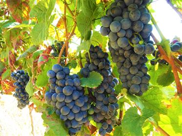 Wine Farm, 47 hectares of land. Portugal, Alto Douro, Torre ...