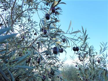1.100.000 m2 de azeitonas, oliveiras e amêndoas.
