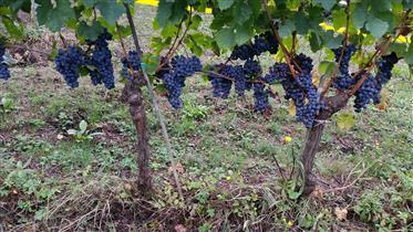 V 312018 azienda agricola Montalcino