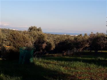 Οικόπεδο 5000τμ  με ελαιόδενδρα